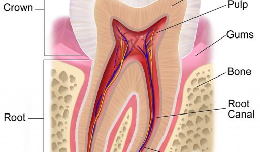 מבנה שן